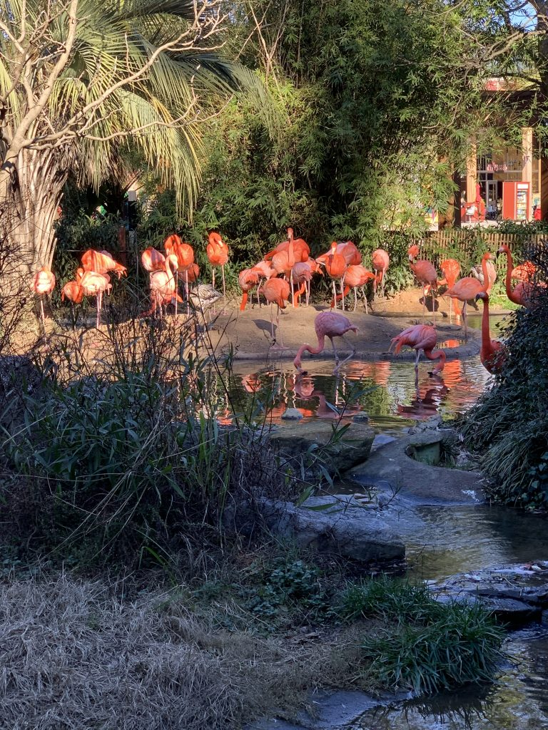 flamingoes riverbanks zoo